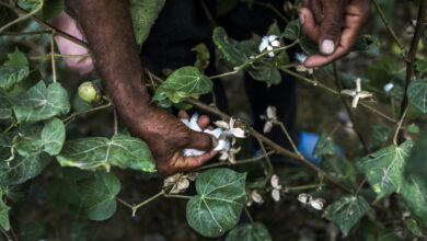 Photo of India's cotton exports set for revival over global demand for masks, lower domestic prices