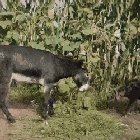 Photo of Donkey turns the tables on a hyena that wandered onto a farm
