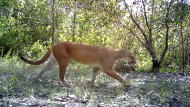 Photo of British Army protects big cats in Belize