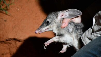 Photo of Bilby experts hope boost in the SA gene pool will help speedy marsupials breed faster