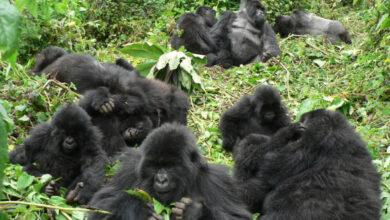 Photo of Mountain Gorillas are Friendly to Familiar Neighbors, New Study Finds
