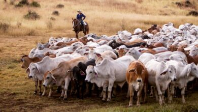 Photo of One of Australia's largest cattle companies, with nearly 300,000 head, sells for at least $500 million