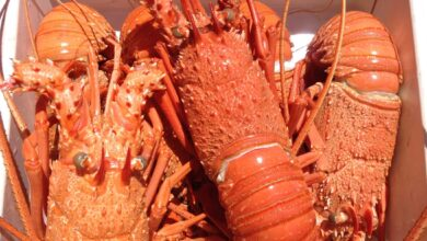 Photo of Tonnes of Australian lobsters stuck in Chinese airports amid trade tensions