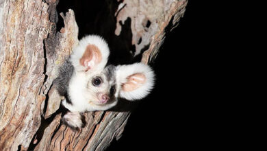 Photo of Two new species of marsupials discovered in Australia