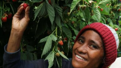 Photo of Tasmania signs deal to fly in 700 workers from Pacific Islands to pick fruit