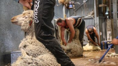 Photo of Mixed lockdown messages create shear confusion for SA sheep industry