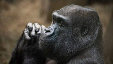 Photo of Beloved gorilla in Ohio zoo dies at age 48, community remembers her 'beautiful soul'