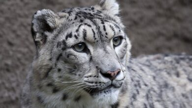 Photo of Snow leopard tests positive for Covid-19