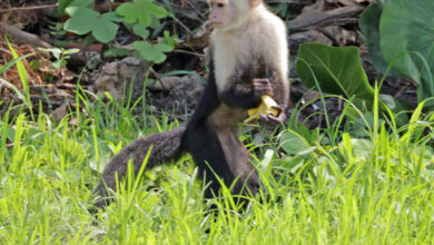 Photo of Scientists Sequence Genome of White-Faced Capuchin